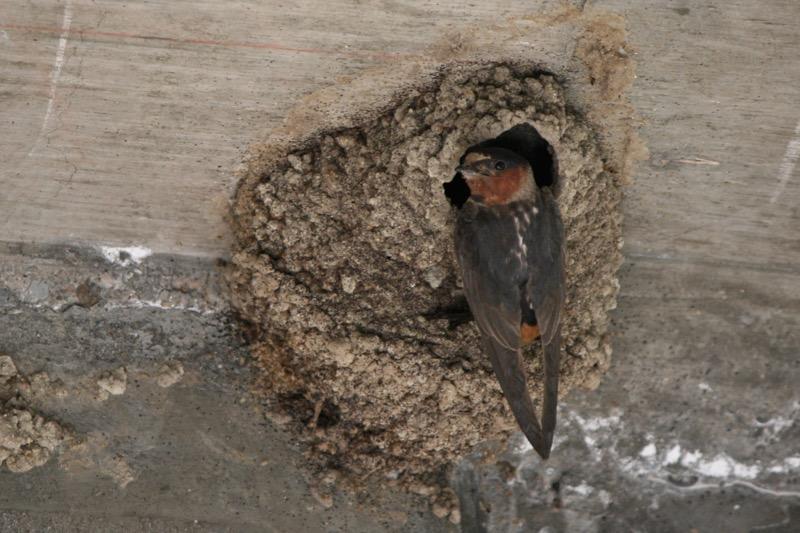 Cliff swallow visits a nest under a bridge in Crystal Peak Park, Verdi. July 28, 2015. Photo: K.Fitzgerald.