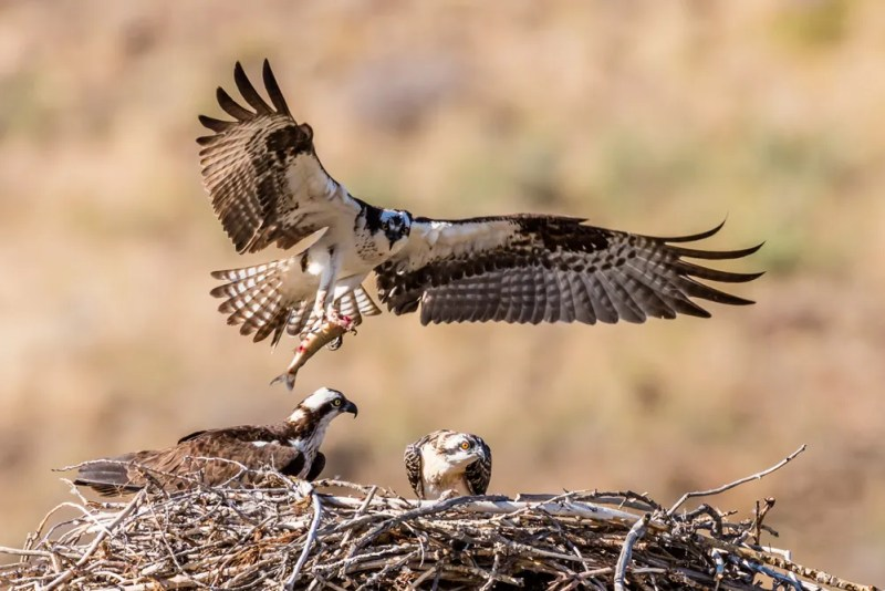 Osprey Landing with Fish, Reno, NV. July 21, 2015. Photo credit: Jerry Fenwick.