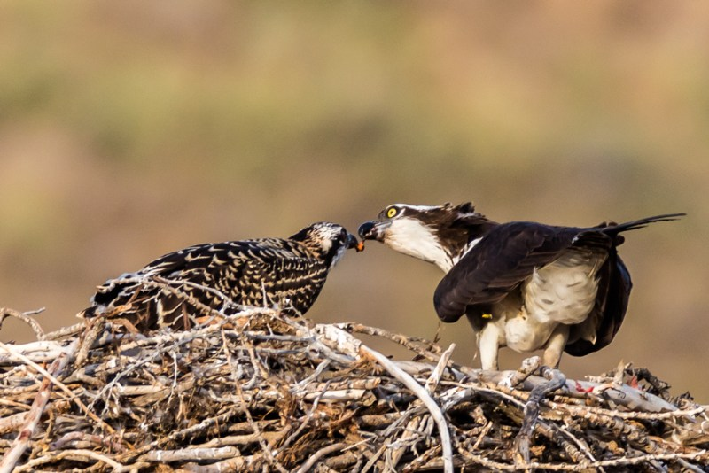 Female Osprey feeding chick, Reno, NV. July 21, 2015. Photo credit: Jerry Fenwick.