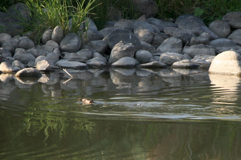 Look close: That's an American Beaver. Mustang Ranch Preserve. 6 Aug 2015.