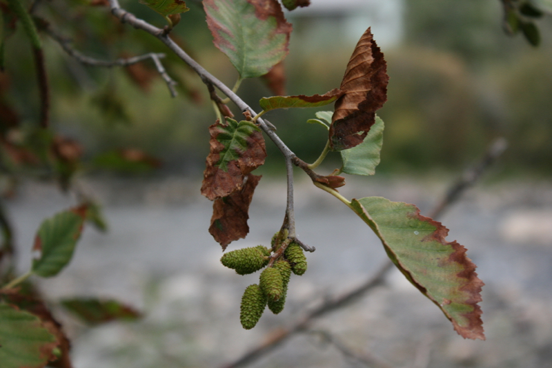 Dry leaves on a Thinleaf alder in Dorostkar Park, Sept 12, 2015.