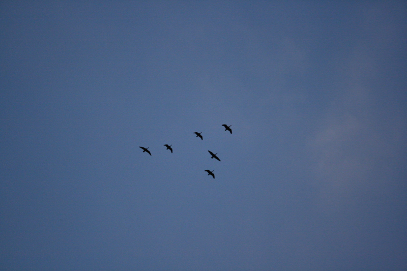 A small V of Canada geese flies over Dorostkar Park, Sept 12, 2015.
