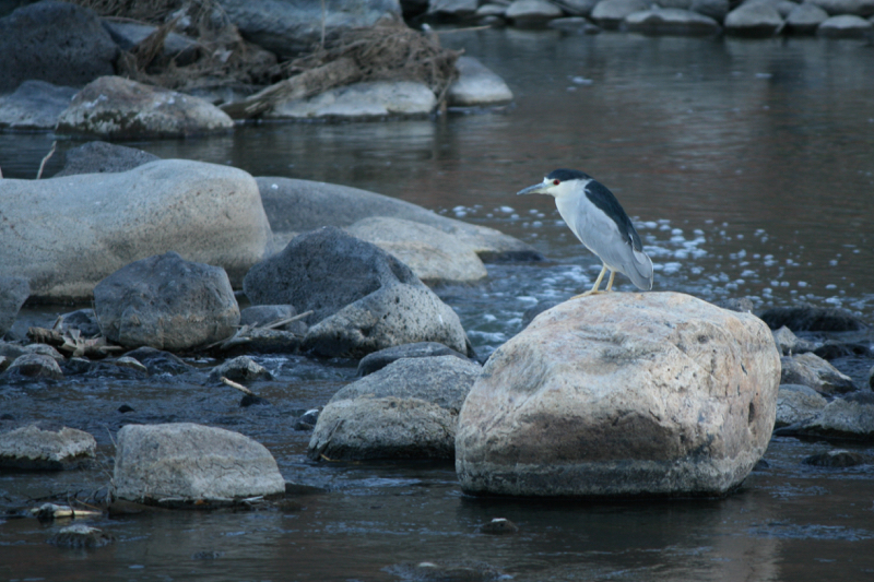 Adult Black-crowned Night Heron. Lockwood Park, 28 Sept 2015.