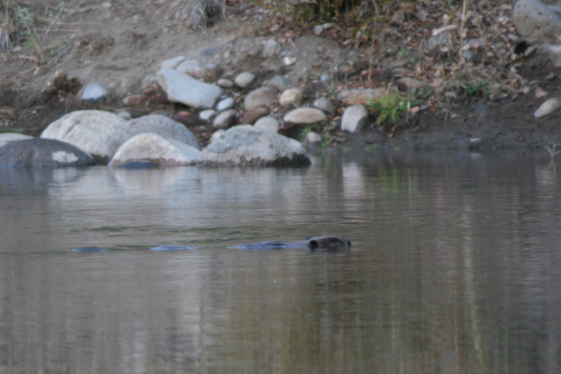 A beaver on a morning swim. Oct 9, 2015.