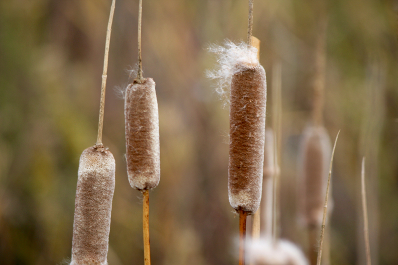Cattails gone to seed. Mustang Ranch Preserve, Nov 1, 2015.