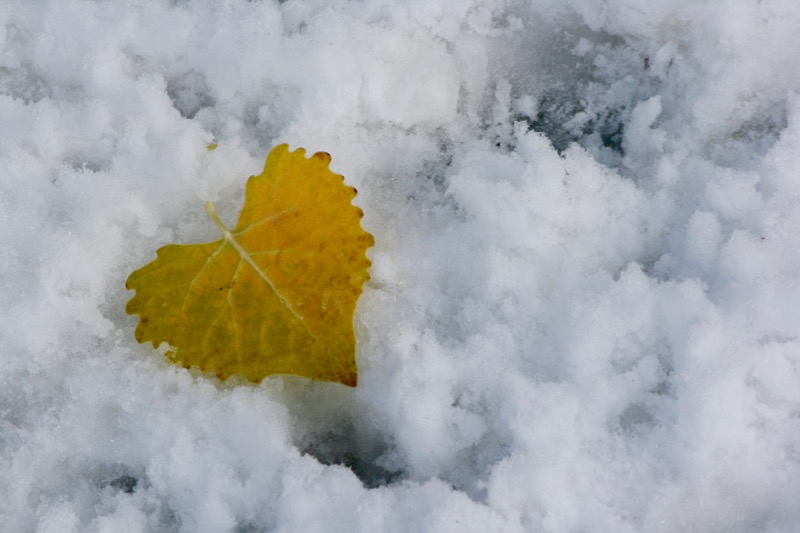 Fremont Cottonwood leaf on the snow, Nov 10, 2015.