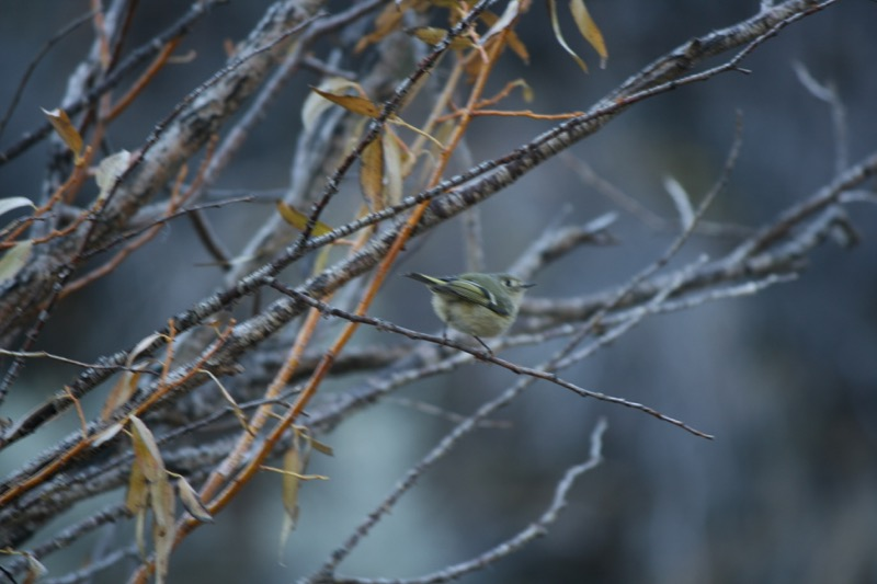 Ruby-crowned kinglet, Mayberry Park. Nov 20, 2015.