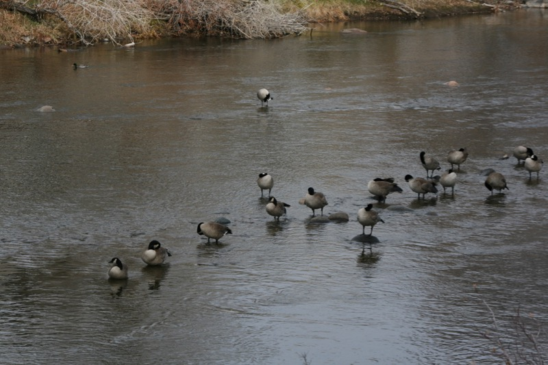Canada Geese, Idlewild Park. Dec 13, 2015.