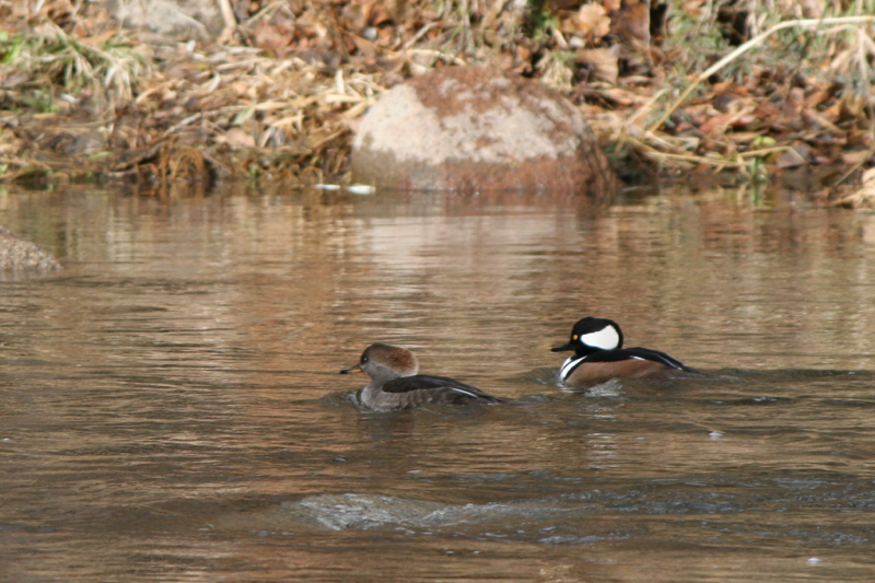 Hooded Mergansers, Idlewild Park. Dec 2015.