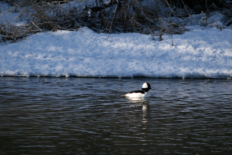 Male Bufflehead, Mayberry Park. January 2016. Photo: K.Fitzgerald.