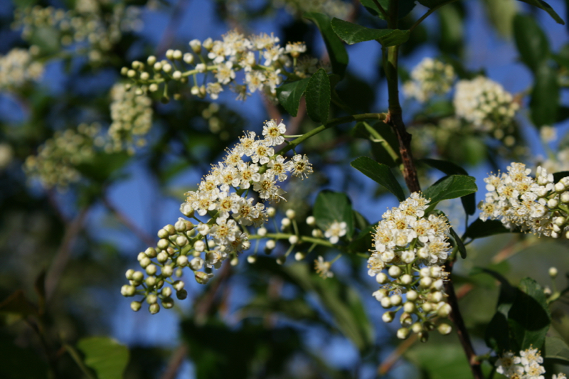 Chokecherry blooming in Idlewild Park, April 18, 2016.