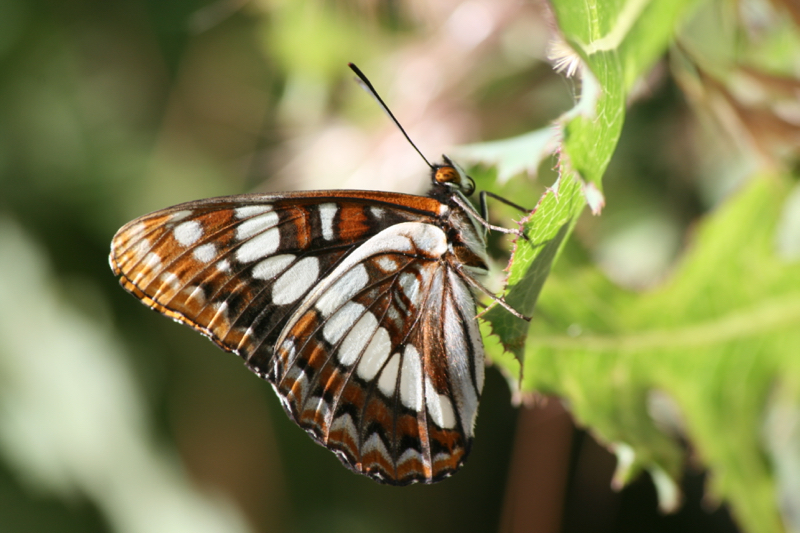 Lorquin's Admiral, Mayberry Park. June 2016.