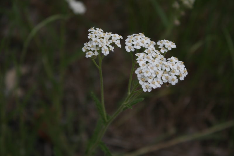 Yarrow, Crystal Peak Park. June 2016.