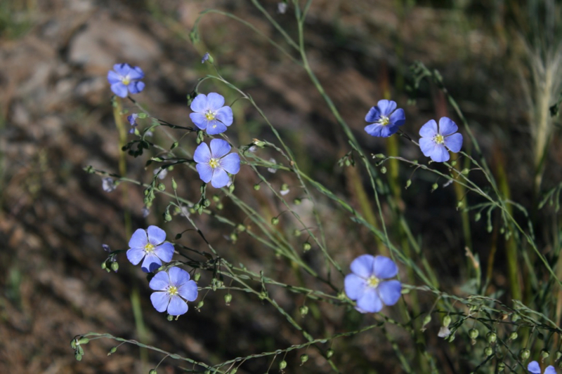 Blue Flax, Truckee River Legacy Trail, Glenshire. June 30, 2017.