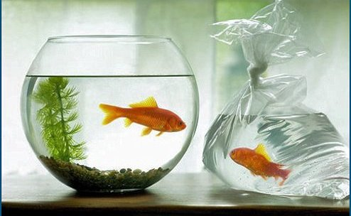 Compra de peces nuevos