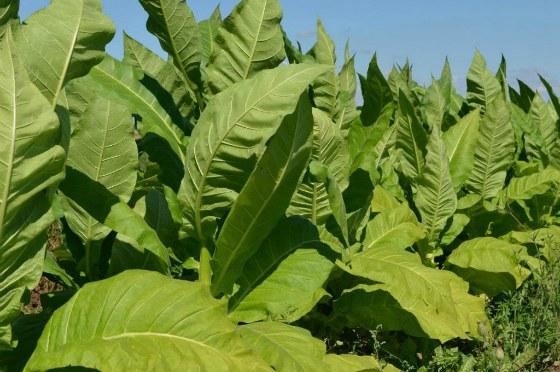 तंबाकू झाड़ियों