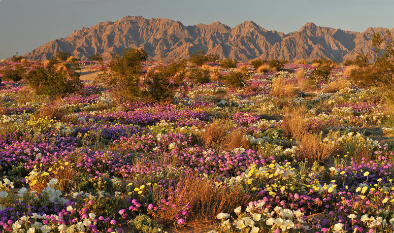 OPERATION  DESERT STORM 2     Desert Flower Desert Bloom     Middle East     desert flowers Mojave   Image by Dean Hueber