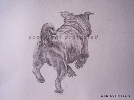 dog portraits in pencil -  pug portrait in progress 3