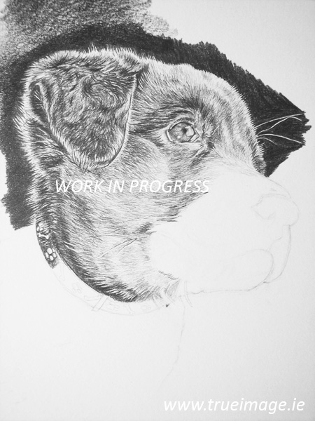 labrador puppy pencil portrait work in progress