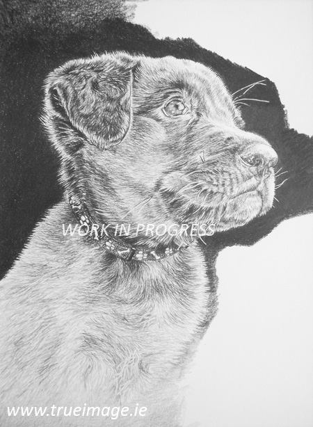Labrador retriever puppy pet portrait in pencil - step 7