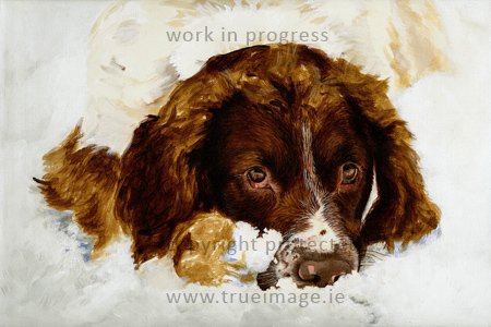 Springer Spaniel dog portrait painting in progress - stage 2