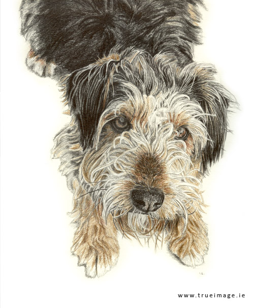 terrier-dog-portrait-pencil