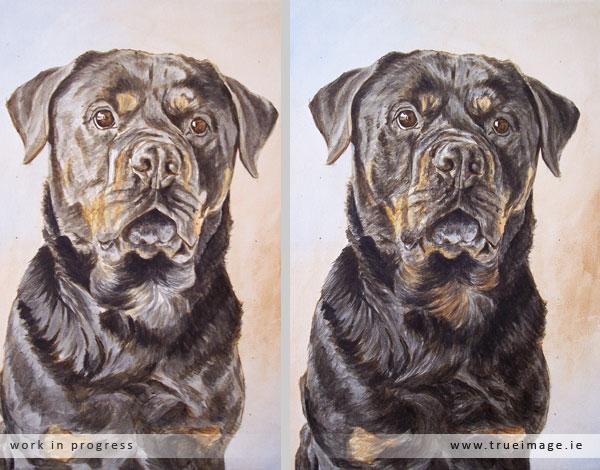 rottweiler dog portrait in progress - stage 3