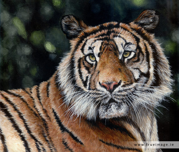 sumatran tiger wildlife painting in acrylic on canvas