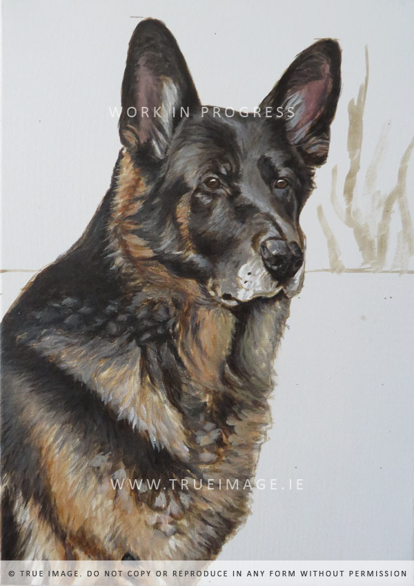 german shepherd portrait in progress