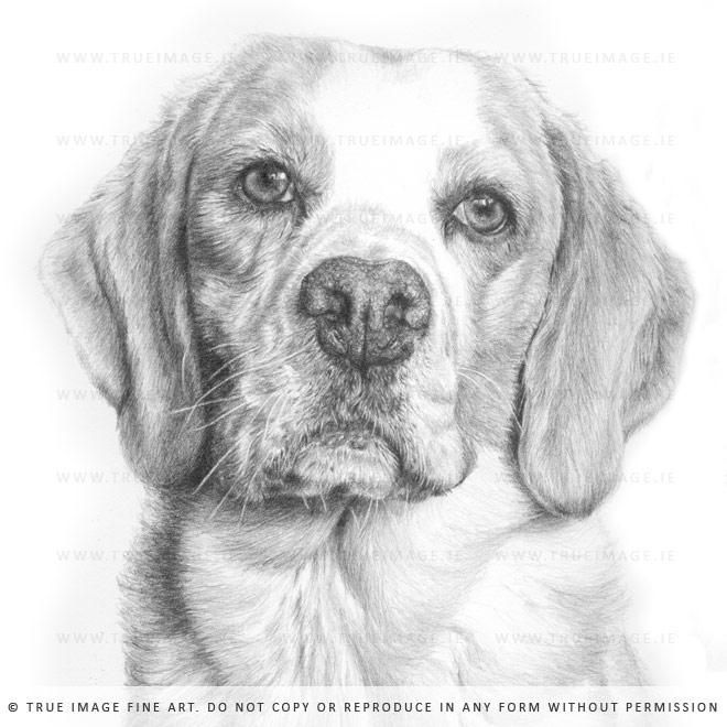 beagle drawing