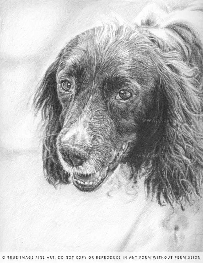 springer spaniel drawing