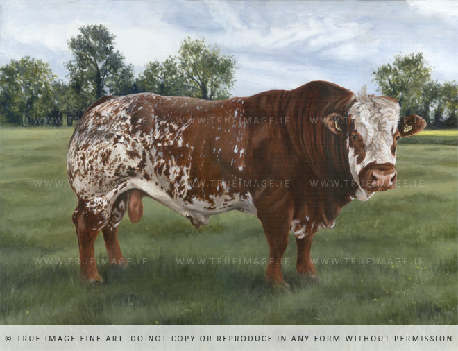 simmental bull portrait