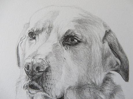labrador drawing detail