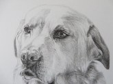 labrador drawing detail