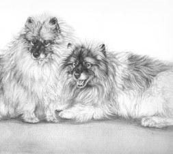 two keeshonds portrait