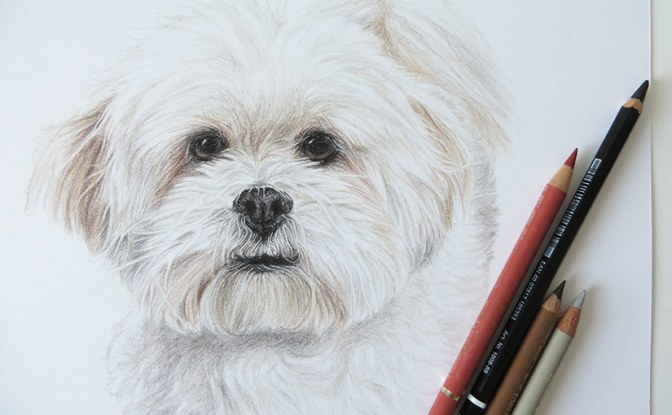 bichon-drawing
