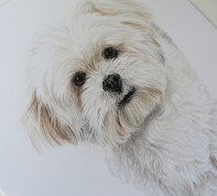 bichon dog drawing