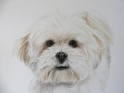 bichon dog portrait detail