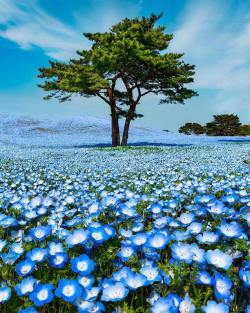A blanket of Baby Blue Eye flowers  Kyoto, Japan