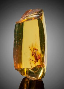 A praying mantis (hymenaea protera) trapped in amber. Approximately 12 million years old. :o