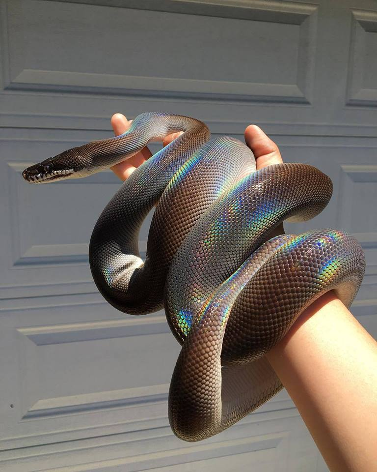 Snake with holographic skin. Beautiful or not?