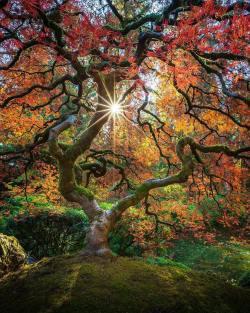 A beauty fall tree  Portland Japanese Gardens, Oregon.