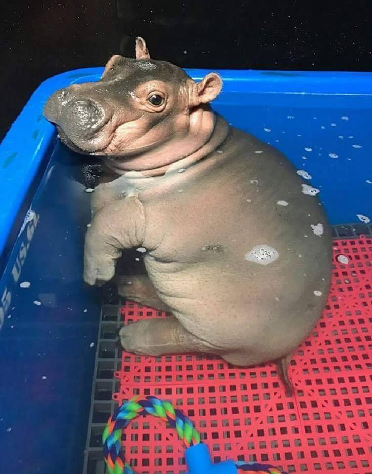 Baby hippo.. <3