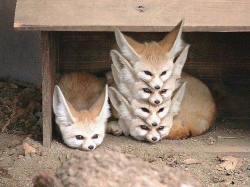 Fennec Fox squad