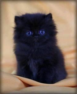 Black Persian cat! <3
