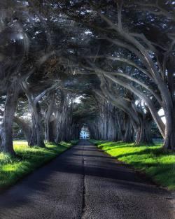 Cypress Tree Tunnel, Point Reyes. California.