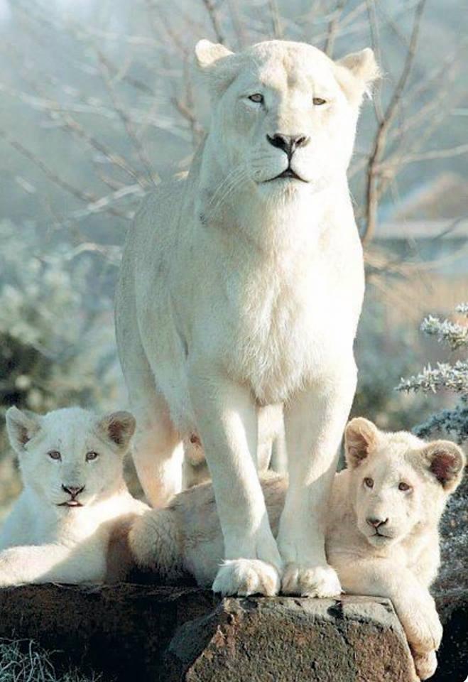 Lovely white lion family!
