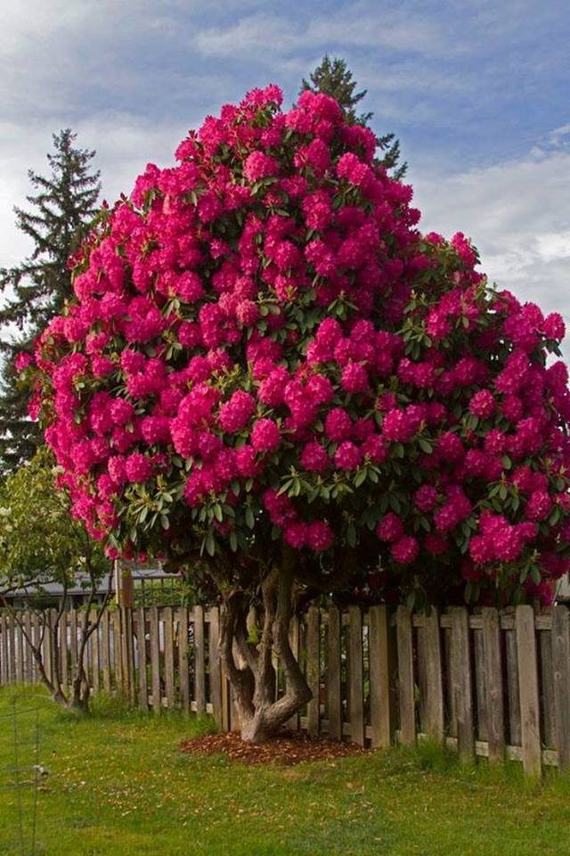 Rhododendron tree