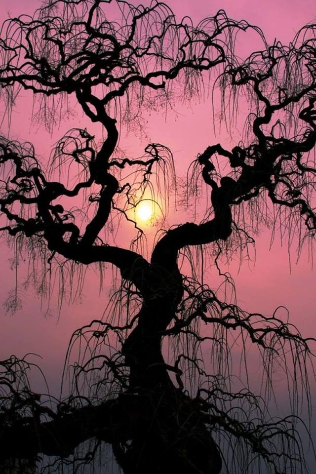 Sunset Tree in Verbania, Lake Maggiore, Italy