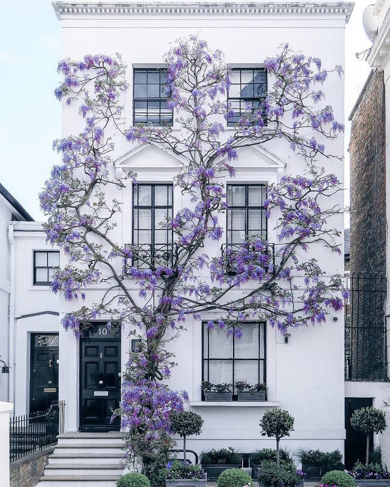 Wisteria Home In 2019: Wisteria Growing In South Kensingto.